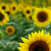 Sun Flowers 5272_2