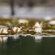 Water Lillies 8967